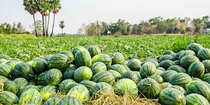 Semangka atau water melon