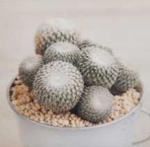 Cactus Mammillaria