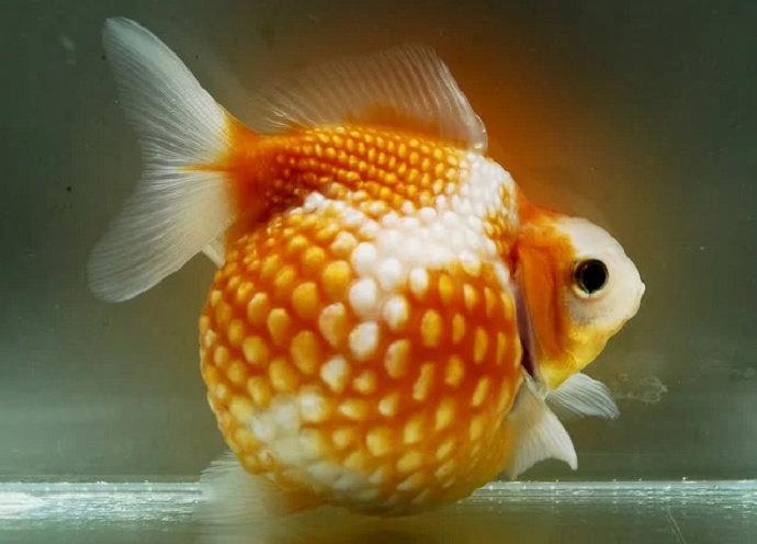 Apa Yang Anda Ketahui Tentang Ikan Mas Koki Mutiara Akuakultur Dictio Community