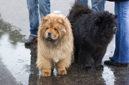 Chow_Chow_Puppies