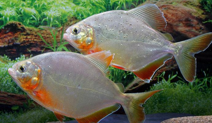 Ikan piranha Pygopristis Denticulata