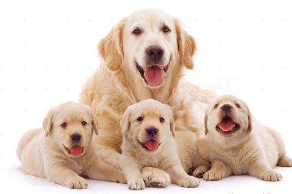 Daging-Anjing