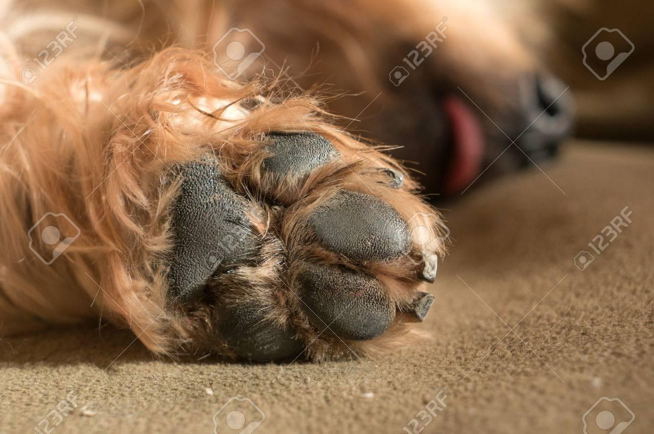 70532663-dog-paw-pad-in-macro-detail-cute-sleeping-doggie-yorkshire-terrier-brown-hair-between-doggy-paws-wor