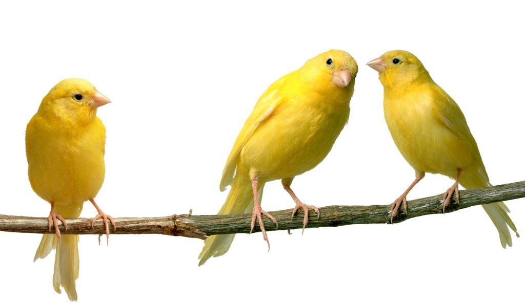 Bagaimana Jenis Kandang Yang Baik Untuk Burung Kenari Hewan Peliharaan Dictio Community