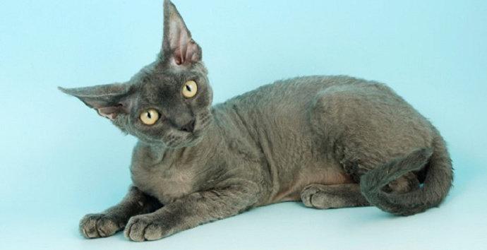 Kucing Devon Rex