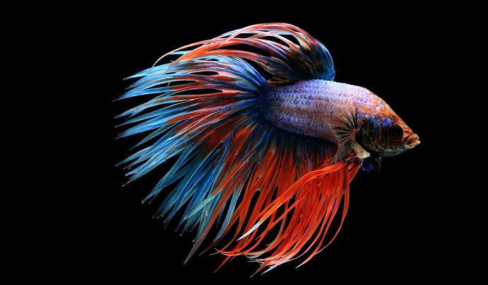 Bagaimana Cara Melakukan Budidaya Ikan Cupang Diskusi Perikanan Dictio Community
