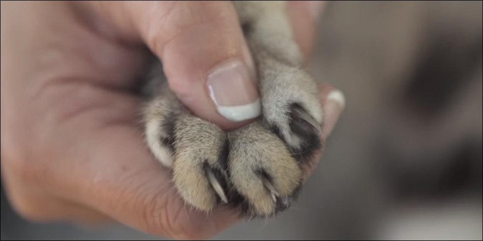 Bagaimana Cara Memotong Kuku Kucing Yang Sesuai Hewan Peliharaan Dictio Community