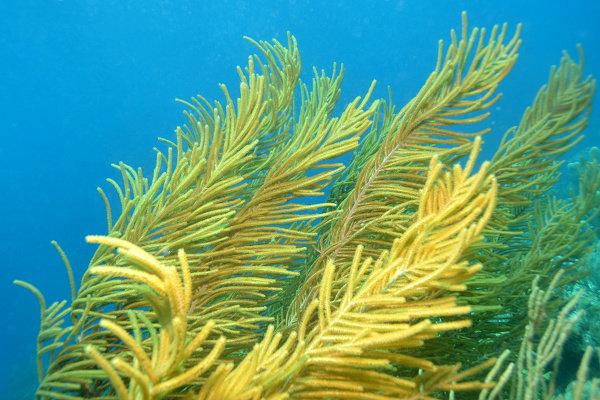 Terumbu karang Sea fingers