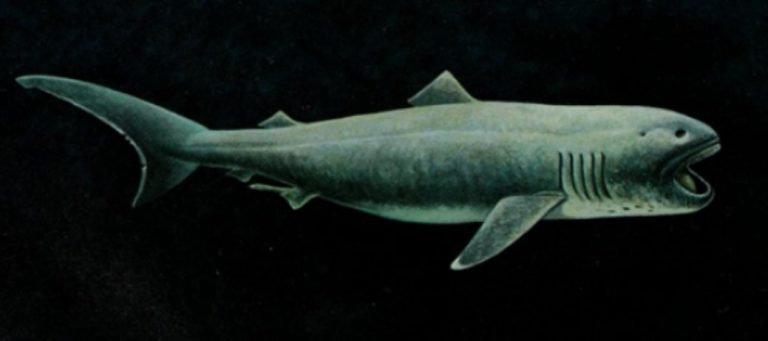 Ikan Hiu Bermulut Besar atau Megamouth Shark