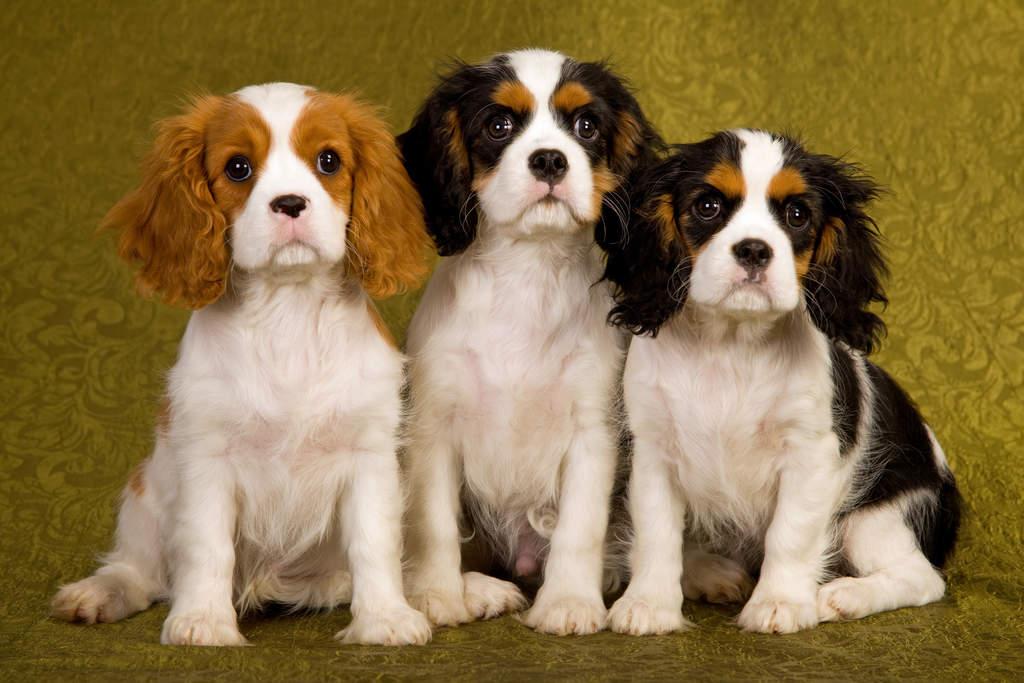 Tidak Seganas Belgian Malinois, Ini Rekomendasi Anjing Peliharaan Untuk Pemula