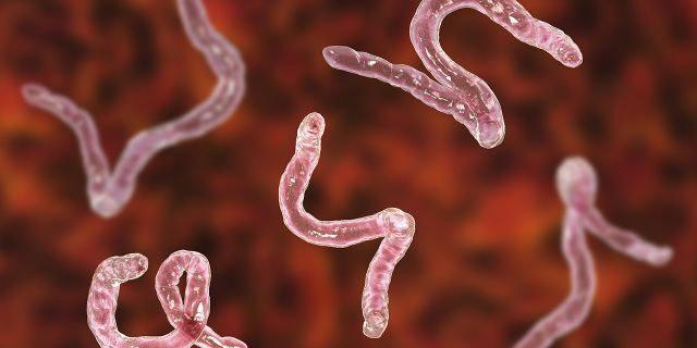 Ankilostomiasis atau infeksi cacing tambang