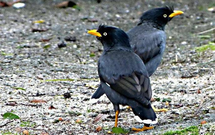 Apa Yang Anda Ketahui Tentang Burung Jalak Kebo Hewan Peliharaan Dictio Community