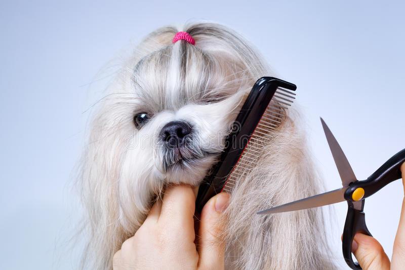 shih-tzu-dog-grooming-38012036