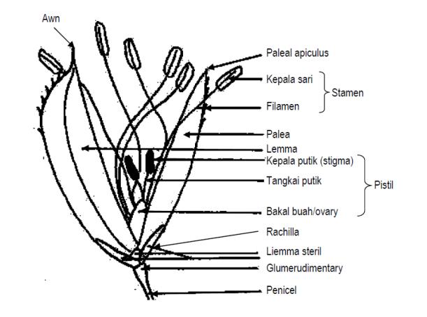 Morfologi bunga padi