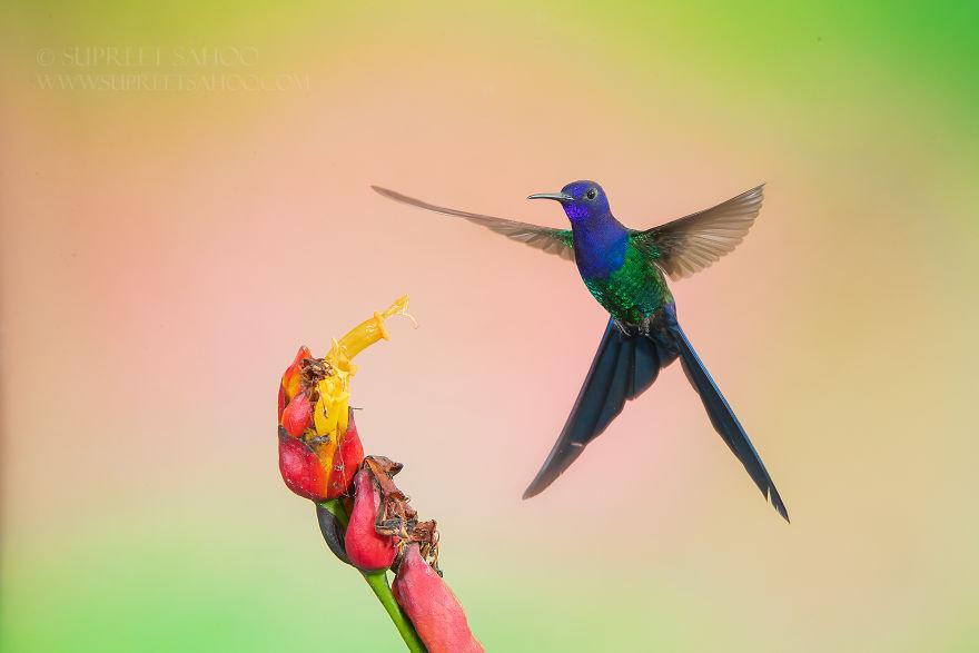 Swallow-Tailed Hymmingbird