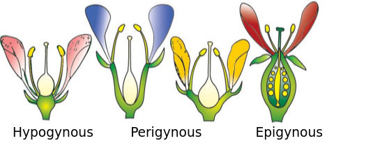 Pembagian Bunga Berdasarkan Posisi Ovarium Relatif terhadap Perhiasan Bunga