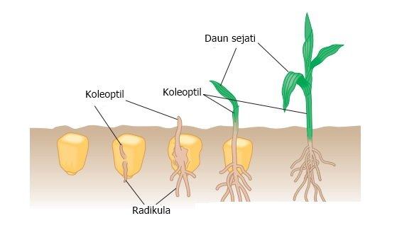 ujung koleoptil
