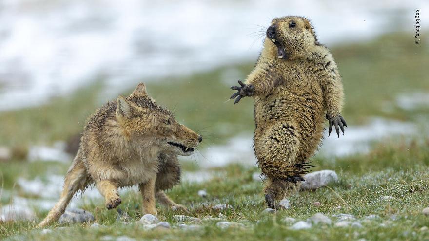 Marmot Himalaya