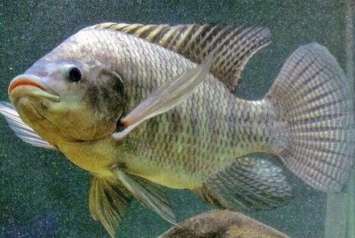 Ikan Nila Hitam