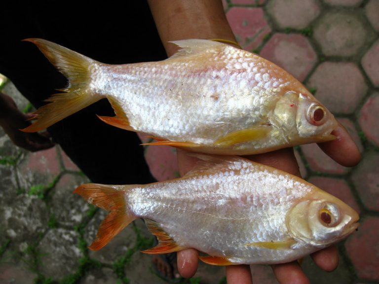 Apa saja Manfaat dan Khasiat Ikan Kafiat ? - Diskusi Perikanan ...