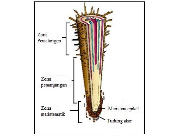akar+tumbuhan