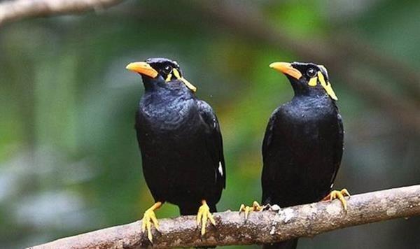 Harga-Burung-Beo-Nias-Terbaru
