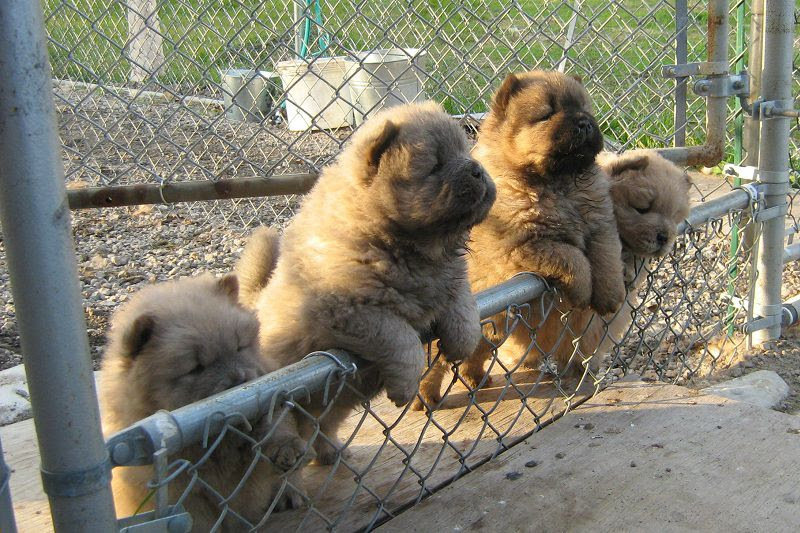 chow-chow-images-13