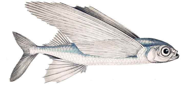 Ilustrasi-Ikan-Terbang