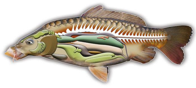 Sistem digestoria atau sistem pencernaan ikan