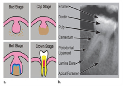Odonotogenesis dan anatomi gigi