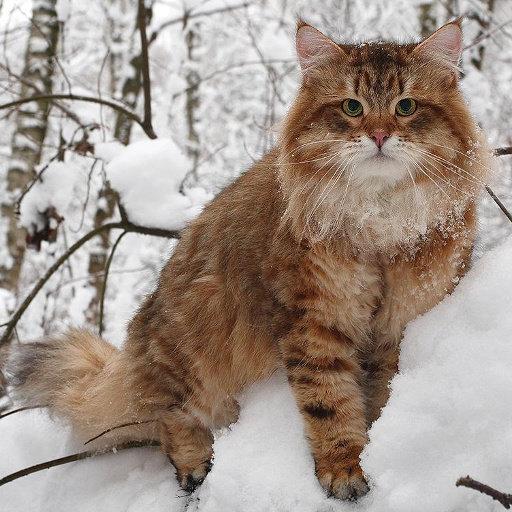 Apa yang anda ketahui tentang kucing siberian?