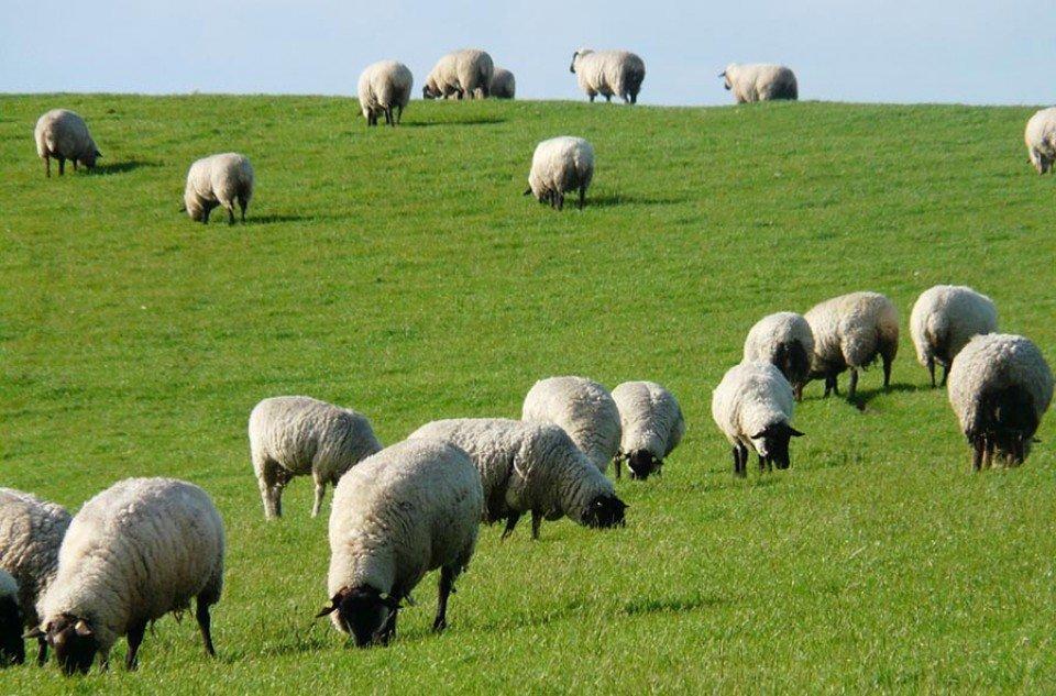 1029-6-fakta-unik-domba-selain-diperah-susunya
