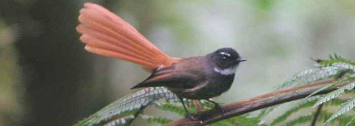 burung-kipasan-ekor-merah-rhipidura-phoenicura-02