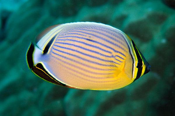 Redfin Butterflyfish (Chaetodon trifasciatus)