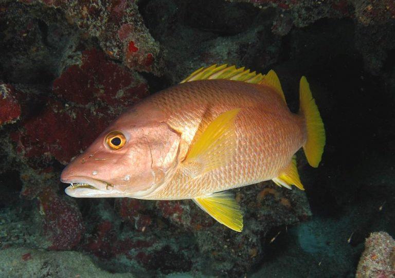 Ikan Kakap Vermilliond