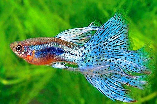 Apakah ikan Guppy dapat hidup tanpa aerator ? - Diskusi ...