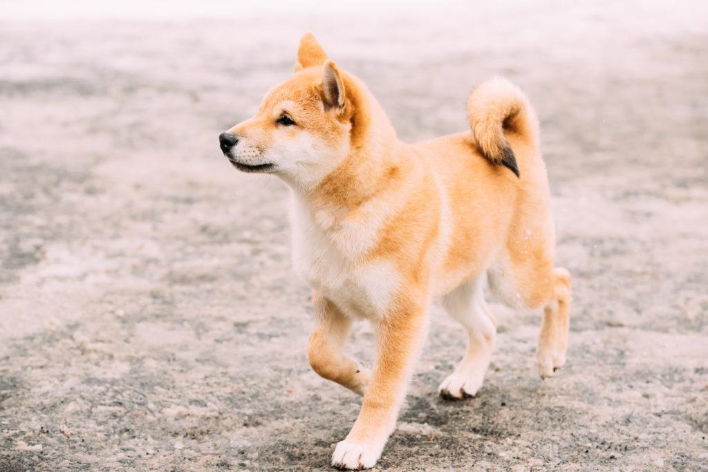 shiba-inu-temperament-and-personality_canna-pet-1024x683