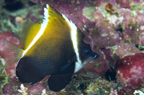 Humphead Bannerfish atau Horned Bannerfish (Heniochus varius)