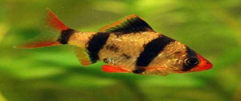 Tips-Budidaya-Ikan-Sumatra