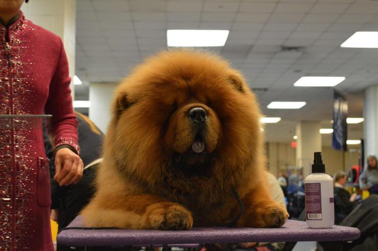 Chow-Chow-dog-breed_934914-e1427461410785