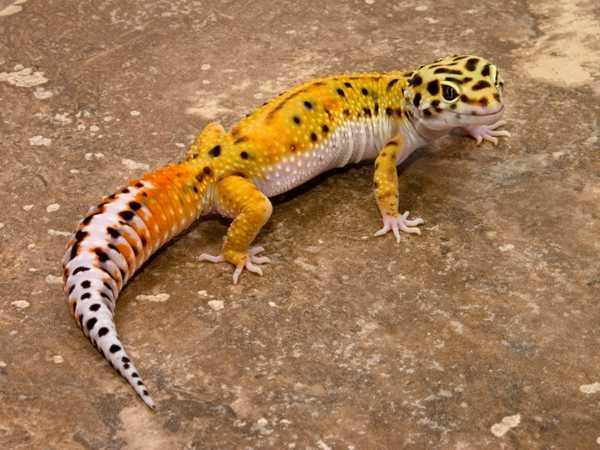 Jenis-tokek-Leopard-Gecko