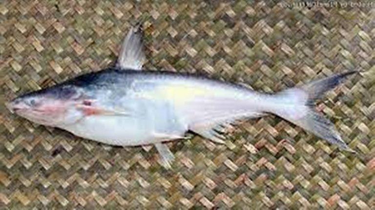 Ikan Mengkreng