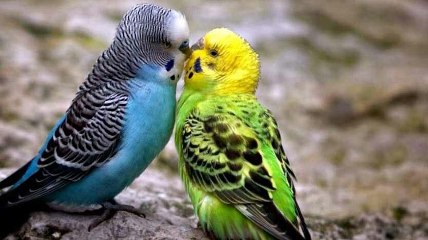 Apa Yang Anda Ketahui Tentang Burung Parkit Hewan Peliharaan Dictio Community