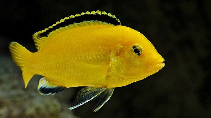 Ikan lemon, cenderung mengganggu ikan komet dan mas koki pada saat sudah besar