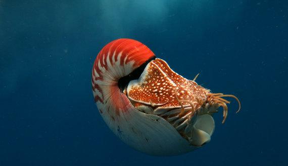 Apa yang anda ketahui tentang Nautilus? - Diskusi Sains - Dictio Community