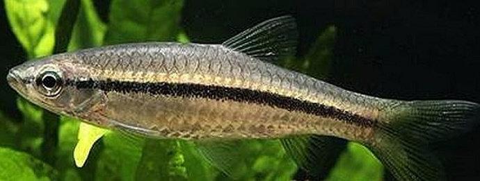 Ikan Lunjar Padi
