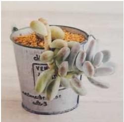 Pachyphytun