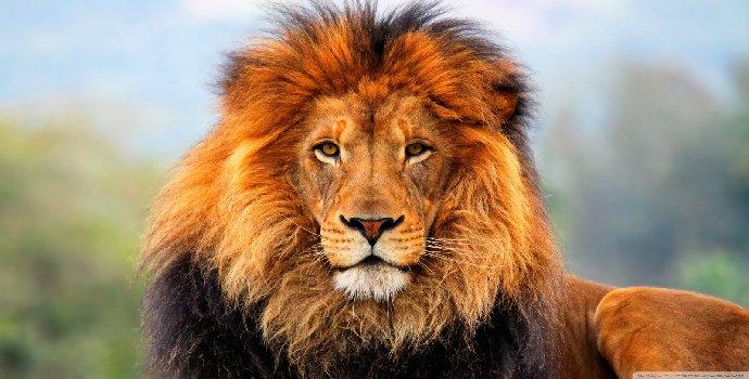 singa di afrika