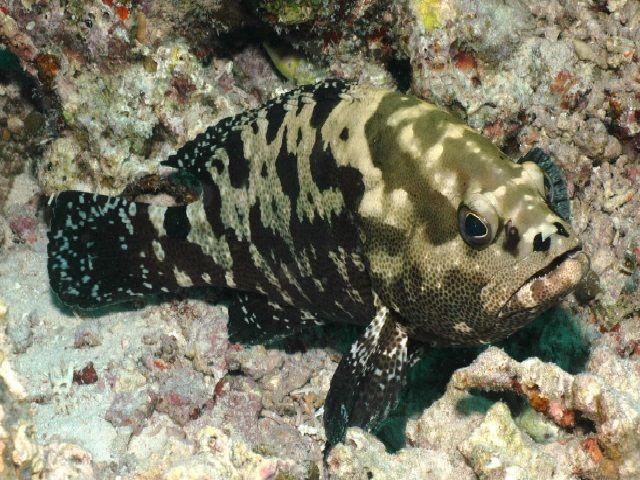 Apa Yang Anda Ketahui Tentang Ikan Kerapu Macan Kelautan Dictio Community