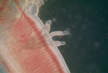 dactylogyrus-in-fish